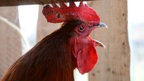 El gallo colorido canta en una granja, Eslovaquia