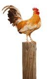El gallo de la mañana Imagen de archivo libre de regalías