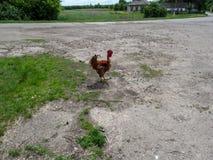 El gallo de la raza de Transylvanian de pollos se coloca en el camino en el pueblo Fotografía de archivo