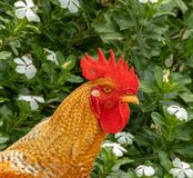 El gallo del campo foto de archivo libre de regalías