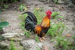 El gallo hermoso es pollo fuerte Fotos de archivo
