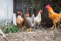 El gallo - símbolo del Año Nuevo Fotos de archivo libres de regalías