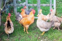 El gallo - símbolo del Año Nuevo Fotografía de archivo libre de regalías