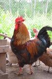 El gallo y la gallina foto de archivo