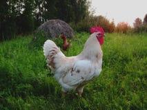 El gallo y la gallina blancos en un campo en puesta del sol se encienden foto de archivo libre de regalías