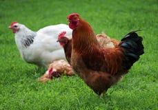 El gallo y los pollos rojos Foto de archivo