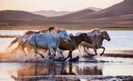 El galope del funcionamiento de los caballos en el agua Foto de archivo libre de regalías