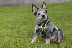 El ganado australiano persigue el perrito en la hierba verde Imagen de archivo libre de regalías