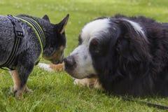 El ganado australiano persigue el perro del perrito y de montaña de Bernese Imagen de archivo libre de regalías