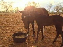 El ganado coloca, Queensland del noroeste Fotos de archivo