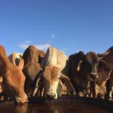 El ganado coloca, Queensland del noroeste Fotos de archivo libres de regalías