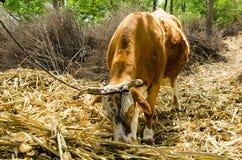 El ganado come la alimentación Fotos de archivo