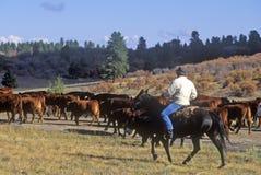 El ganado conduce en el girl scout Road, Ridgeway, CO fotos de archivo libres de regalías