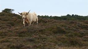 El ganado de Galloway trota hacia cámara en heahtland metrajes