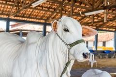 El ganado de la élite de Nelore del brasileño en una exposición parquea fotos de archivo libres de regalías