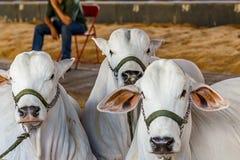 El ganado de la élite de Nelore del brasileño en una exposición parquea Fotografía de archivo