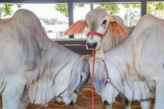 El ganado de la élite de Nelore del brasileño en una exposición parquea Foto de archivo libre de regalías