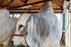 El ganado de la élite de Nelore del brasileño en una exposición parquea Imagen de archivo libre de regalías