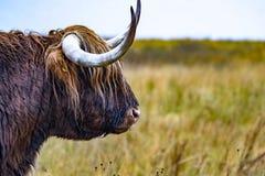El ganado de la montaña - BO Ghaidhealach - Heilan arrulla - una raza de ganados escocesa con los cuernos largos característicos  fotografía de archivo