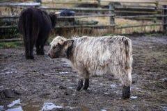 El ganado de la montaña, gaélico escocés, parque Sumava, Boemerwald, República Checa Fotos de archivo