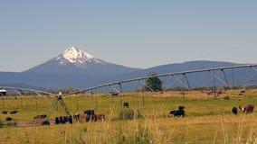 El ganado del rancho pasta y se reproduce con Diamond Peak Mountain en fondo almacen de metraje de vídeo