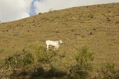 El ganado, familiar vacas, es el tipo más común de ungulates domesticados grandes imagenes de archivo