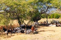 El ganado joven come el heno y miente en la sombra debajo de un ?rbol en un campo de granja imagen de archivo libre de regalías