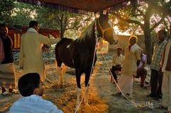 El ganado más grande de Asiaâs justo. Imagen de archivo