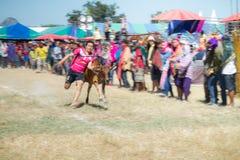 El ganado muestra 2015 Imagen de archivo libre de regalías