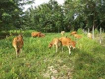 El ganado nativo está pastando Imagen de archivo