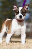 El ganado persigue/el perrito del híbrido del boxeador Imagen de archivo