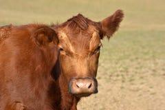 El ganado rojo de Aberdeen Angus dirige imagen de archivo libre de regalías