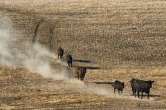 El ganado viaja abajo de una ladera Fotos de archivo