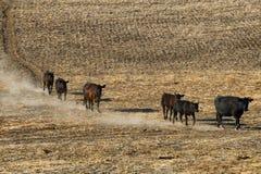 El ganado viaja abajo de una ladera Imágenes de archivo libres de regalías