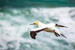 El Gannet Australasian, playa de Muriwai Imagen de archivo