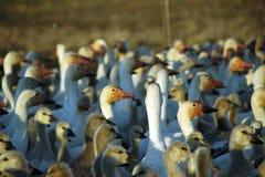 El ganso blanco Fotografía de archivo libre de regalías