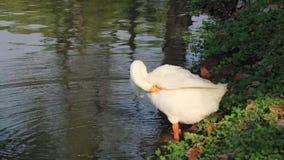 El ganso blanco con agua anaranjada de la bebida de la boca en la charca y la limpieza de la pluma, es un waterbird grande con un almacen de video