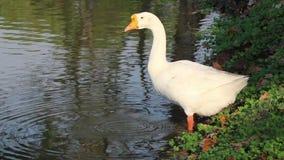 El ganso blanco con agua anaranjada en la charca, de la bebida de la boca es un waterbird grande con un cuello largo almacen de video