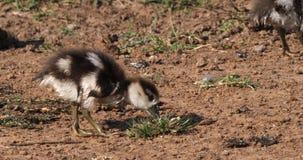 El ganso egipcio, alopochen aegyptiacus, adulto y a Gosling, almacen de video