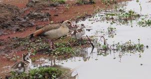 El ganso egipcio, alopochen aegyptiacus, adulto y a Gosling, almacen de metraje de vídeo