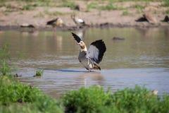El ganso egipcio que se coloca en el aleteo del agua se va volando para secarse Foto de archivo