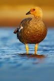 El ganso en el agua, hybrida de Chloephaga, ganso del quelpo, es un miembro del pato, ganso Puede ser encontrado en la parte meri foto de archivo libre de regalías