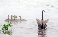 el ganso envía una advertencia a los depredadores Fotos de archivo
