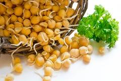 El garbanzo brotado es una fuente de antioxidantes, usada para cocinar la comida sana Fotos de archivo