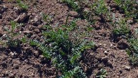 El garbanzo cultiv? el campo y emergi? nuevamente la planta de garbanzo, clima continental en los campos de garbanzos, metrajes