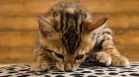El gatito bengalí huele la superficie, en un fondo de madera imagenes de archivo