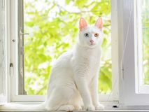El gatito blanco con iridum del heterochromia se está sentando en una ventana Imagen de archivo libre de regalías