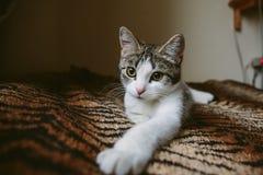 El gatito blanco lindo miente en la manta del tigre de la piel imágenes de archivo libres de regalías