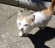 El gatito con los ojos azules camina en naturaleza imagen de archivo