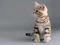 El gatito de la casta de Británicos se aísla en gris Imagen de archivo libre de regalías